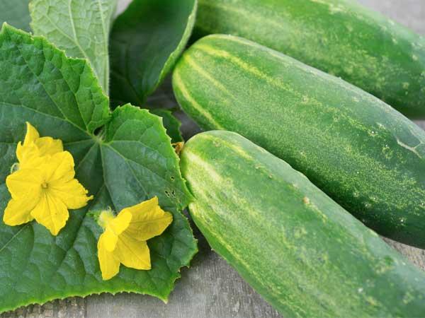 Cucumber- KUK9